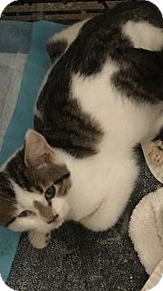 Domestic Shorthair Kitten for adoption in Palisades Park, New Jersey - Lucy