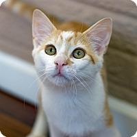 Adopt A Pet :: Mr. Peaches - Troy, MI