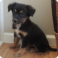 Shepherd (Unknown Type)/Golden Retriever Mix Puppy for adoption in Manchester, New Hampshire - Callie - pending