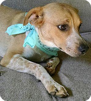 Beagle/Springer Spaniel Mix Puppy for adoption in Brattleboro, Vermont - SPENCER