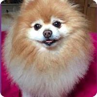 Pomeranian Dog for adoption in Studio City, California - Hiro