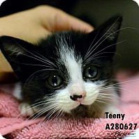 Adopt A Pet :: TEENY - Conroe, TX