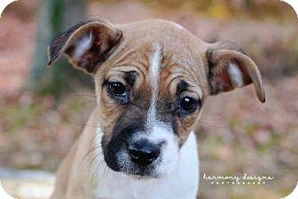 Terrier (Unknown Type, Medium) Mix Puppy for adoption in Nashville, Tennessee - Pumpkin