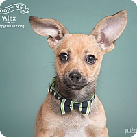 Adopt A Pet :: Alex - Chandler, AZ