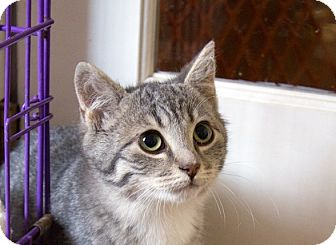 Domestic Shorthair Cat for adoption in Richmond, Virginia - Chibi