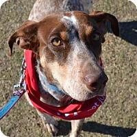 Adopt A Pet :: Judy - Gilbert, AZ