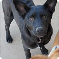 Adopt A Pet :: Midnight - dewey, AZ