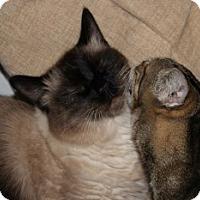Adopt A Pet :: Pele - Davis, CA