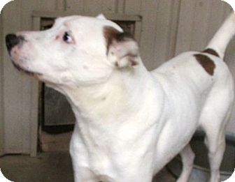 Retriever (Unknown Type)/American Pit Bull Terrier Mix Dog for adoption in Tahlequah, Oklahoma - Kirk