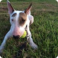 Adopt A Pet :: Bullet - Houston, TX