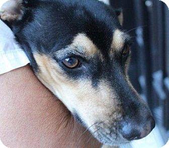 Dachshund/Labrador Retriever Mix Dog for adoption in Portland, Oregon ...