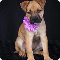 Adopt A Pet :: Roxie - SAN PEDRO, CA