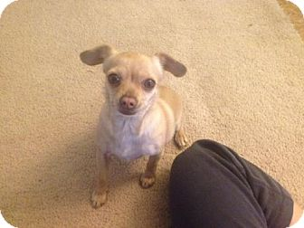 Chihuahua Mix Dog for adoption in Tucson, Arizona - Sweet Pea