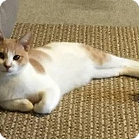Domestic Shorthair Cat for adoption in Los Angeles, California - Rudy