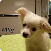 Adopt A Pet :: Willy - Bartonsville, PA