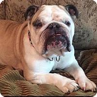 Adopt A Pet :: Britt - Sinking Spring, PA