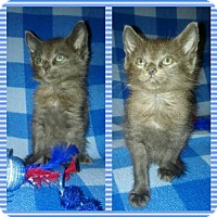 Domestic Mediumhair Kitten for adoption in Abbeville, Louisiana - Furbie