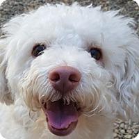 Adopt A Pet :: Collin - Bloomington, IL