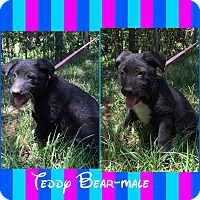 Adopt A Pet :: Teddy Bear (POM dc) - Plainfield, CT