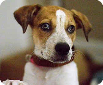 Boxer/Labrador Retriever Mix Puppy for adoption in Chicago, Illinois - Tomato