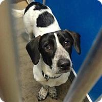 Adopt A Pet :: Cage 3 basset mix - Greenville, TX