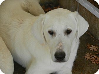 Great Pyrenees/Akbash Mix Puppy for adoption in Granite Bay, California - TESSA