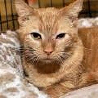 Domestic Shorthair Cat for adoption in Stafford, Virginia - Roxanne