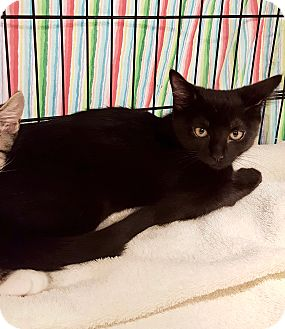 Domestic Shorthair Kitten for adoption in Colmar, Pennsylvania - Boa