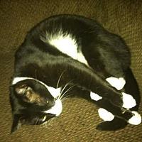 Domestic Shorthair Cat for adoption in Washington, D.C. - Shamu