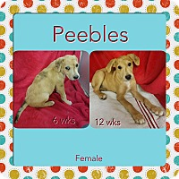 Adopt A Pet :: Pebbles-pending adoption - Manchester, CT