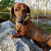 Dachshund Dog for adoption in Westminster, Maryland - Coco Puff