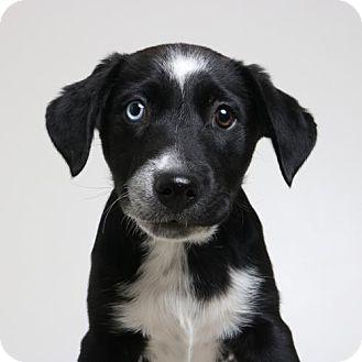 Border Collie Mix Puppy for adoption in Edina, Minnesota - Gemini D161914: PENDING ADOPTION
