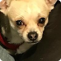 Adopt A Pet :: Rocco - Tenafly, NJ