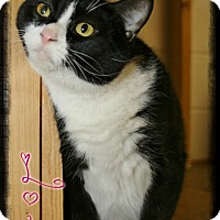 Domestic Shorthair Cat for adoption in Shippenville, Pennsylvania - Lola