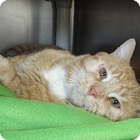 Adopt A Pet :: Bandicoot - Howell, MI