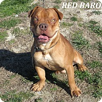 Adopt A Pet :: Red Baron - Elizabeth City, NC
