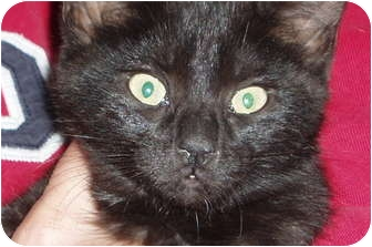 Domestic Shorthair Kitten for adoption in Westfield, Massachusetts - Kitten (black)