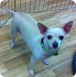 Chihuahua Dog for adoption in Studio City, California - Luna