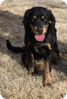 Cocker Spaniel/Boxer Mix Puppy for adoption in Broomfield, Colorado - Doodle