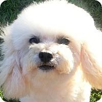 Adopt A Pet :: Lily - La Costa, CA