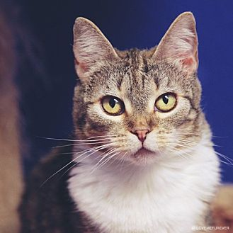 Domestic Shorthair Cat for adoption in Chino Hills, California - Payton