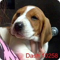 Adopt A Pet :: Dash - baltimore, MD
