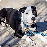 Adopt A Pet :: Dolce - Berkeley, CA
