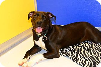 Labrador Retriever/American Pit Bull Terrier Mix Dog for adoption in Suwanee, Georgia - Emery