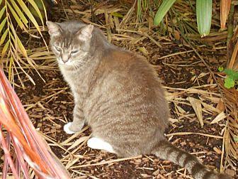 Domestic Mediumhair Cat for adoption in Bonita Springs, Florida - Florabelle
