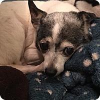 Adopt A Pet :: Lise - Brooksville, FL