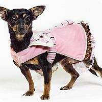 Manchester Terrier Mix Dog for adoption in Yelm, Washington - Capri