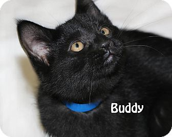 Domestic Shorthair Kitten for adoption in Idaho Falls, Idaho - Buddy