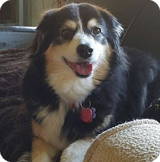 Border Collie/Collie Mix Dog for adoption in West Allis, Wisconsin - Stella