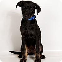 Adopt A Pet :: Terrance TerrierMix - St. Louis, MO